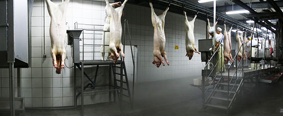 Бойня свиней в домашних условиях видео